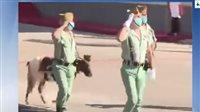 صورة ماذا تفعل الماعز في عرض عسكري إسباني؟ اعرف التفاصيل